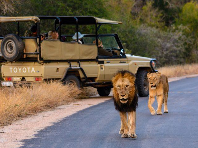 Game Drive med lejon i Krugerparken