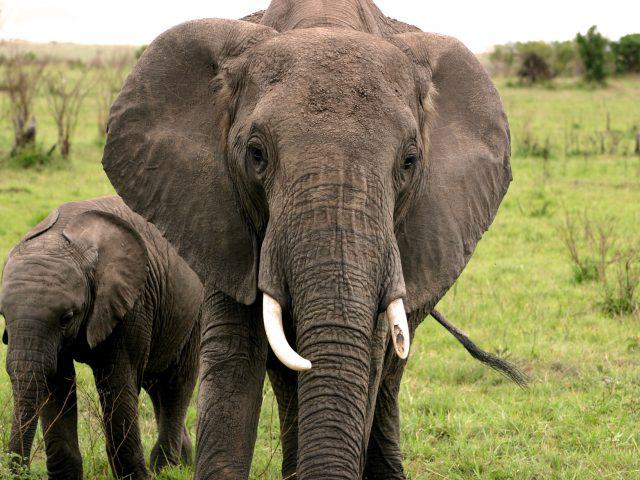 Två elefanter i Serengeti