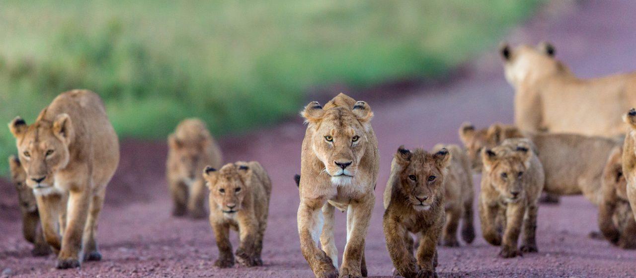 Safari i Tanzania och Zanzibar